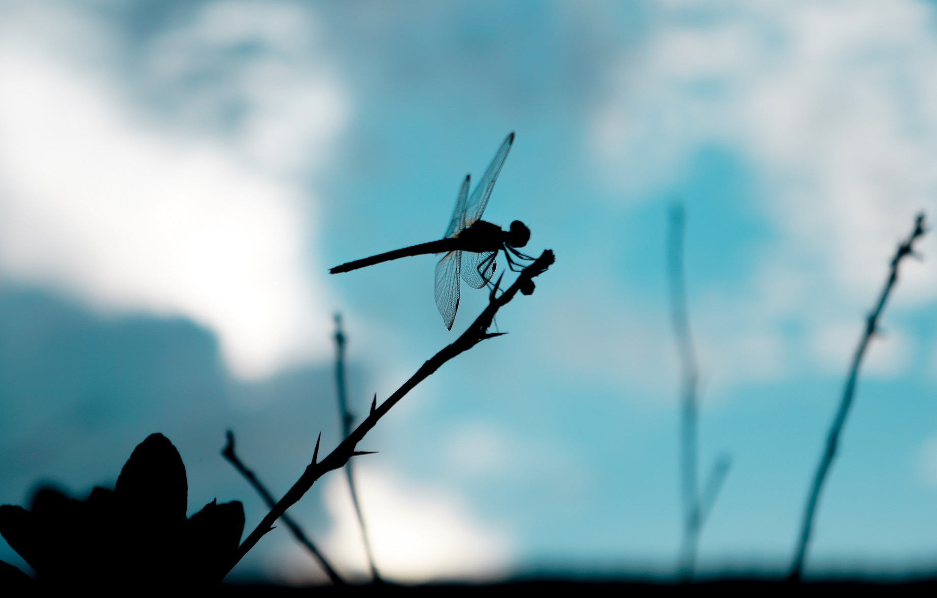 nanopillars insect dragonfly wings